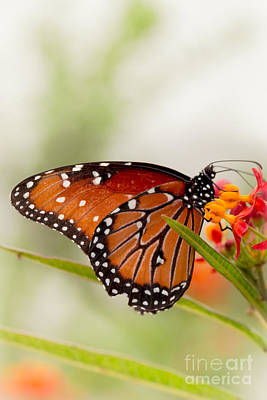 Flutter Photograph - Queen Butterfly by Ana V Ramirez