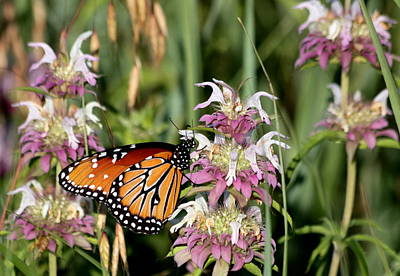 Photograph - Queen Butterfly And Purple Wildflowers by Sheila Brown