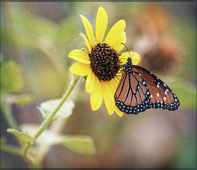Photograph - Queen Butterfly Atop A Sunflower  by Saija Lehtonen