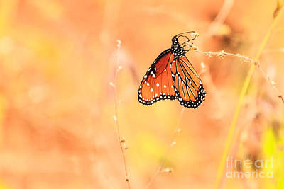 Photograph - Queen Butterfly by Ben Graham