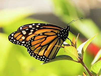 Photograph - Queen Butterfly by Bob Slitzan