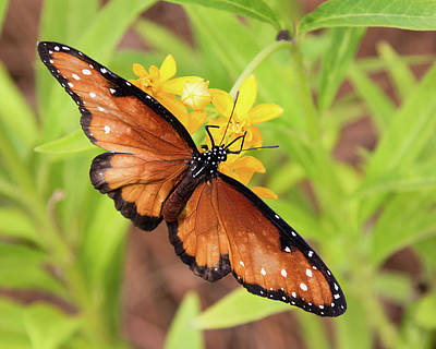 Photograph - Queen Butterfly by Dawn Currie
