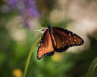 Photograph - Queen Butterfly-img_680518 by Rosemary Woods-Desert Rose Images