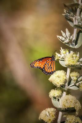 Photograph - Queen Butterfly On A Flower  by Saija Lehtonen