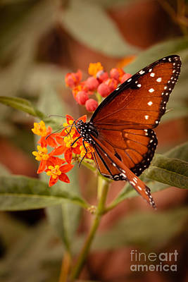 Flutter Photograph - Queen Butterfly On Flowers by Ana V Ramirez