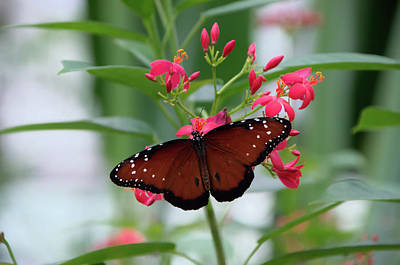 Insects Photograph - Queen Butterfly On Red Flowers by Artful Imagery