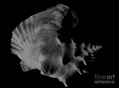 Photograph - Queen Conch by Amar Sheow