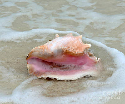 Photograph - Queen Conch In The Surf by Catherine Sherman
