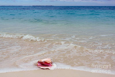Photograph - Queen Conch Shell On Bahama Beach by Catherine Sherman