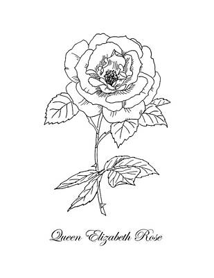 Drawing - Queen Elizabeth Rose. Botanical by Masha Batkova