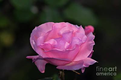 Photograph - Queen Elizabeth Rose by Glenn Franco Simmons