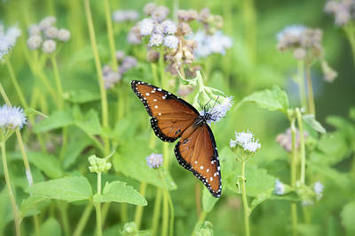 Photograph - Queen Of The Butterflies by Saija Lehtonen