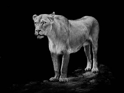 Lioness Photograph - Queen by Paul Neville