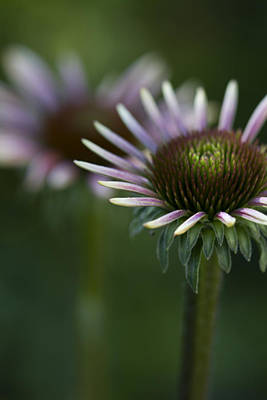 Cone Flowers Photograph - Queen by Rebecca Cozart