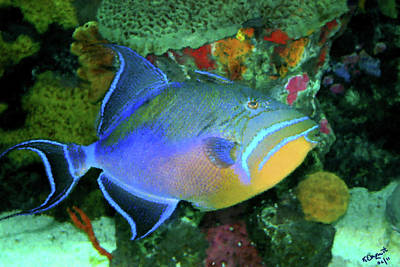 Triggerfish Photograph - Queen Triggerfish by Kristin Elmquist