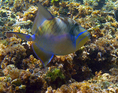 Queen Triggerfish Art Print