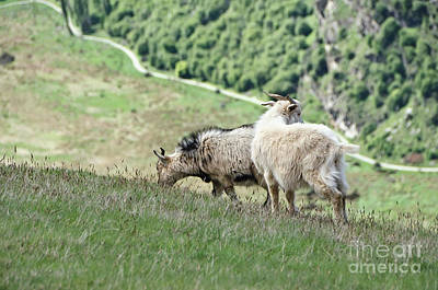 Photograph - Queenstown New Zealand. Remarkable Ranges And Wild Goats by Yurix Sardinelly