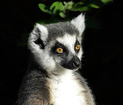 Photograph - Querying Ring-tailed Lemur by Margaret Saheed