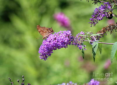 Photograph - Question Mark Butterfly Ventral View by Karen Adams