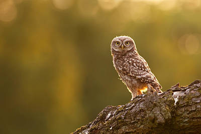 Qui, Moi? Little Owlet In Warm Light Art Print