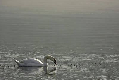 Photograph - Quiet Swan by Inge Riis McDonald