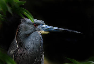 Tri-colored Heron Photograph - Quietly Alert by Skip Willits