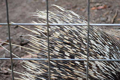 Photograph - Quills Of An African Porcupine by Linda Geiger