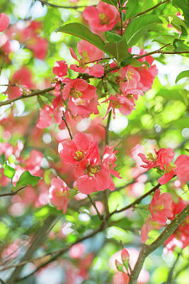 Photograph - Quince Blossoms by Robert Clifford