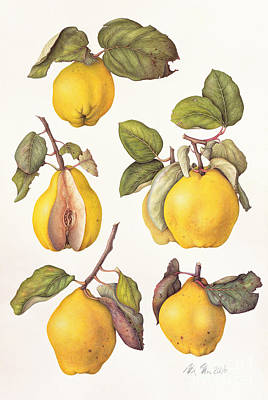Quince Painting - Quinces by Margaret Ann Eden