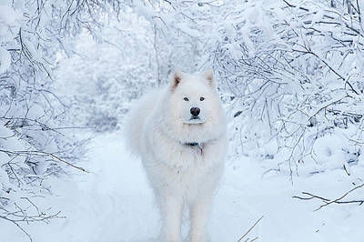 Photograph - Quinn The Mighty Samoyed by Valerie Pond