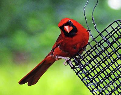 Photograph - Quisical Cardinal by Lizi Beard-Ward