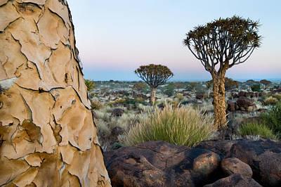 Quiver Tree Aloe Dichotoma, Quiver Tree Art Print