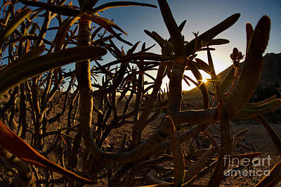 Photograph - Quiver Tree At Sunset by Francesco Tomasinelli