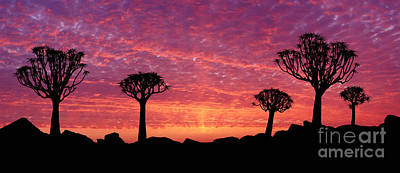 Photograph - Quiver Trees At Sunset by Warren Photographic