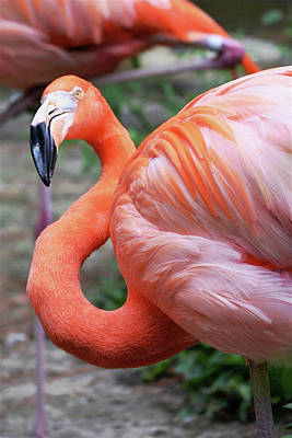Photograph - Quizzical American Flamingo by Kim Bemis