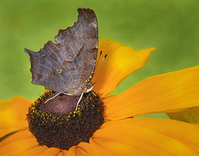 Photograph - Question Mark Butterfly by David and Carol Kelly