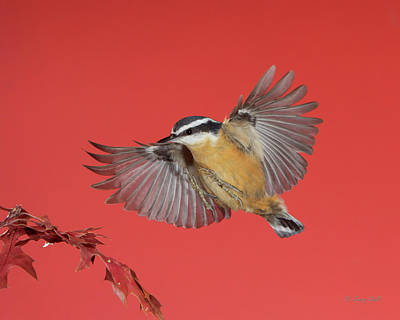Photograph - R B Nuthatch by Gerry Sibell