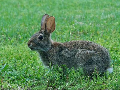 Wildlife Art Photograph - Rabbit 014 by Chris Mercer