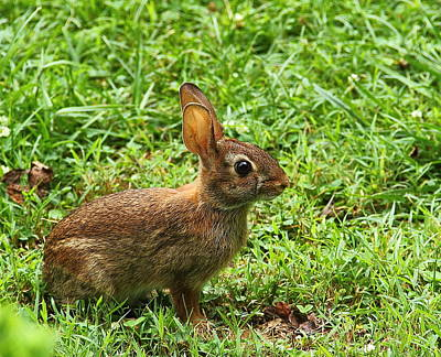 Photograph - Rabbit by Allen Nice-Webb