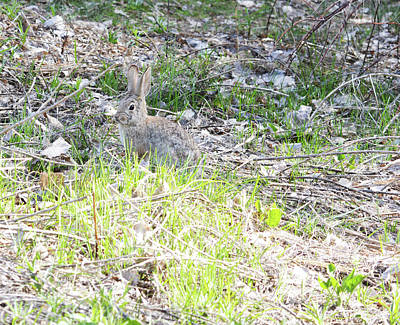 Photograph - Rabbit At Attention  by Brent Dolliver