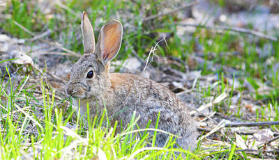 Photograph - Rabbit Eating by Brent Dolliver