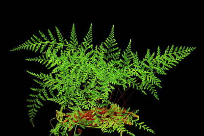 Photograph - Rabbit Foot Fern by Allen Nice-Webb