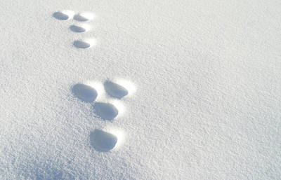 Rabbit Footprints In The Snow 2 Art Print by Jack Dagley