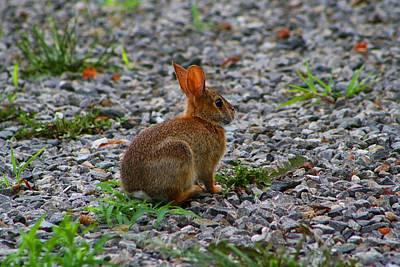 Photograph - Rabbit by Kathryn Meyer