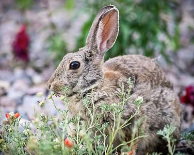 Photograph - Rabbit Munching Lunch by John Brink