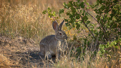 Photograph - Rabbit On The Prairie by Susan Rissi Tregoning