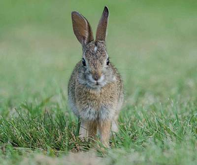 Photograph - Rabbit Portrait by William Bitman