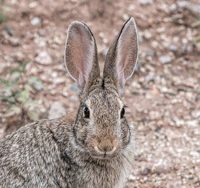 Photograph - Rabbit Stare by Dorothy Cunningham