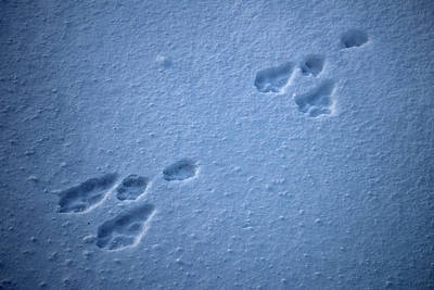 Photograph - Rabbit Tracks by Cathy Mahnke