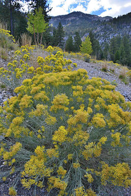 Photograph - Rabbitbrush In Mt. Charleston Basin by Ray Mathis